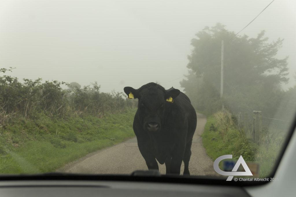 Zwarte koe, pal voor de auto